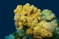 Coral reef with great yellow sea sponge at the bottom of tropical sea Royalty Free Stock Photo