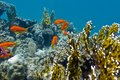 Coral reef with hard corals and exotic fishes anthias at the bottom of tropical sea Stock Photo