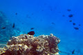 Coral reef of red sea in egypt with tropical fishes Royalty Free Stock Photos
