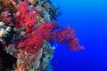Coral reef in the red sea soft tropical of Royalty Free Stock Photo