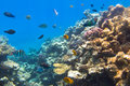 Coral reef of red sea with tropical fishes egypt Stock Photos