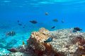 Coral reef of red sea with tropical fishes egypt Royalty Free Stock Photos