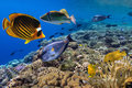 Coral reef with shard corals with exotic fishes Royalty Free Stock Photo