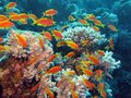 Coral reef with shoal of exotic fishes anthias at the bottom of tropical sea Royalty Free Stock Photo