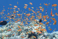 Coral reef with shoal of fishes Anthias in tropical sea, underwa Royalty Free Stock Photo