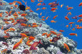 Coral reef with shoal of fishes scalefin anthias, underwater Royalty Free Stock Photo