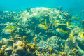 Coral reef with shoal of french grunt fish and hard corals Royalty Free Stock Photo