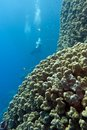 Coral reef with stony corals and divers at the bottom of tropical sea on blue water background Royalty Free Stock Photo