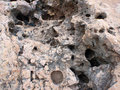 Coral rock with large holes great for textures and backgrounds Royalty Free Stock Images