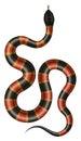Coral snake vector illustration.