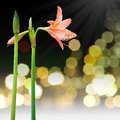 Coral star lily hippeastrum sp family amaryllidaceae Royalty Free Stock Photography
