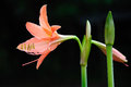 Coral star lily hippeastrum sp family amaryllidaceae Royalty Free Stock Images