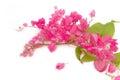 Coral Vine or Antigonon leptopus Hook flower ,chain of love Royalty Free Stock Photo