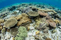 Corals in Indonesia Royalty Free Stock Photo