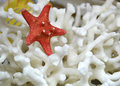 Corals starfish Royalty Free Stock Photo