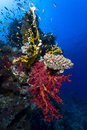 Corals underwater several different in the red sea of egypt soft and hard are forming a small tower Royalty Free Stock Images