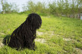 Corded puli hungarian herding dog sit on the grass Stock Photos