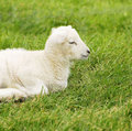 Cordeiro recém-nascido da mola Imagens de Stock Royalty Free