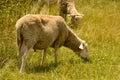 Corderos que pastan en un prado Imágenes de archivo libres de regalías