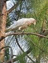 Corella on pine tree Royalty Free Stock Photography