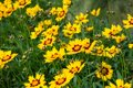 Coreopsis hybrid in a green background Royalty Free Stock Photo