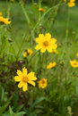 Coreopsis - yellow flowers Stock Photo