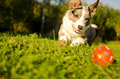 Corgi dog is playing and chasing the ball toy Stock Images