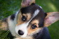 Corgi puppy close up of black tan and white dog Royalty Free Stock Photo