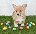 Corgi puppy grass colorful easter eggs all around her Royalty Free Stock Images