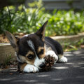 Corgi puppy in shade young dog chewing pinecone Royalty Free Stock Photography