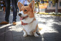 Corgi small dog Royalty Free Stock Photo
