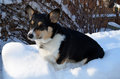 Corgi in the snow pembroke welsh dog out Stock Photo