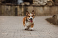Corgi walks Royalty Free Stock Photo