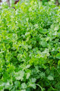 Coriander green fresh in the garden Royalty Free Stock Images