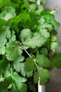 Coriander leaves Royalty Free Stock Photo