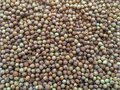 Coriander Seed, Coriandrum sativum, many seeds closeup detail Royalty Free Stock Photo