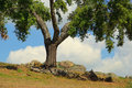 Cork oak in alentejo portugal Royalty Free Stock Photo