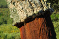 Cork oak in alentejo southern europe Royalty Free Stock Photos