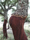 Cork oak tree Fotografía de archivo libre de regalías