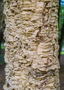 Cork oak tree bark closeup, texture Royalty Free Stock Photo