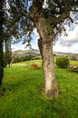 Cork oak in tuscany tree the hills of Stock Photography