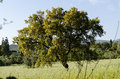The cork oak is a typical plant of sardinia its use is a very important economic resource quercus suber Stock Image