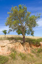 Cork tree in Porto Covo Royalty Free Stock Photo