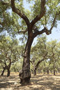 Cork trees forest of quercus suber alentejo portugal Royalty Free Stock Photo