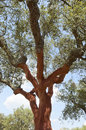 Cork trees quercus suber recently stripped alentejo portugal Royalty Free Stock Photo