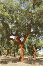 Cork trees quercus suber recently stripped alentejo portugal Royalty Free Stock Photos
