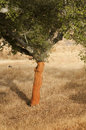 A corkwood tree Royalty Free Stock Photos