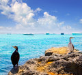 Cormoran bird in formentera rocks near La Savina Royalty Free Stock Image