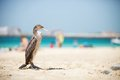 Cormoran bird resting on sunny beach the Stock Photo