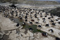 Cormorano di re albiventer di phalacrocorax atriceps Immagine Stock Libera da Diritti